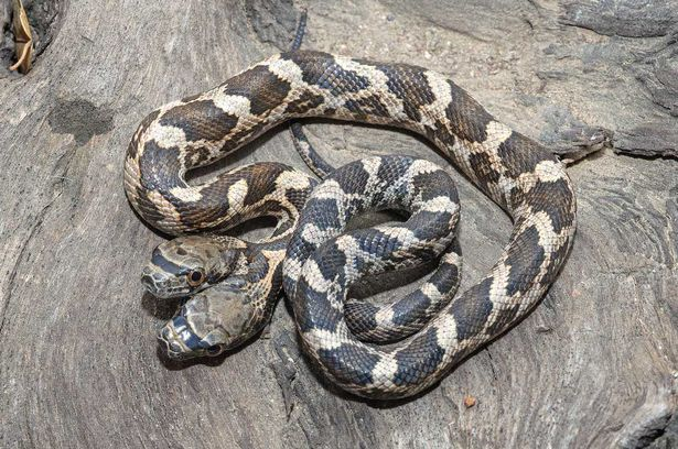 PAY-A-two-headed-snake-in-Kansas-2