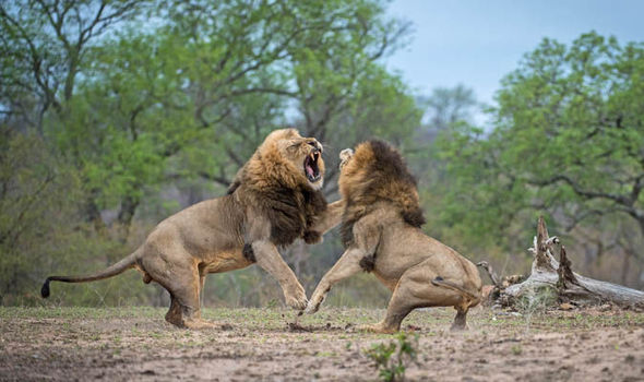 lions-fight-kruger-south-africa-733288