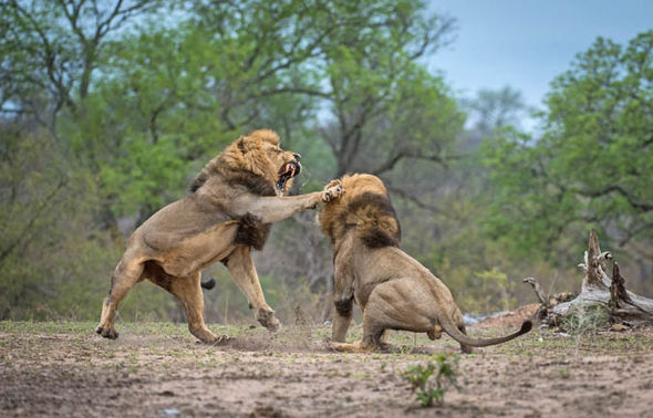 lions-fighting-male-south-africa-723649